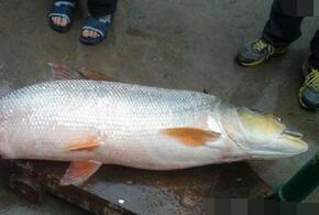 渔民捕获巨型水老虎 36公斤重非常少见令人意外