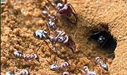 撒哈拉奇特蚂蚁背部毛发可反射阳光实现降温