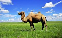 温顺的骆驼