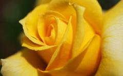 黄玫瑰的心